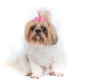 Perro de la ji-tzu en un fondo blanco Foto de archivo
