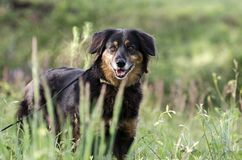 Perro de la mezcla de Aussie Setter, fotografía de la adopción del rescate del animal doméstico Foto de archivo