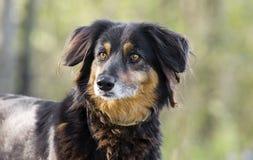 Perro de la mezcla de Aussie Setter, fotografía de la adopción del rescate del animal doméstico Fotos de archivo