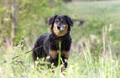 Perro de la mezcla de Aussie Setter, fotografía de la adopción del rescate del animal doméstico Imagen de archivo libre de regalías