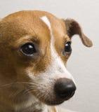Perro de la mezcla de Jack Russell /Chihuahua que mira para arriba con la expresión dulce Fotografía de archivo libre de regalías