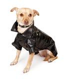 Perro de la mezcla de la chihuahua que desgasta la chaqueta de cuero negra Imágenes de archivo libres de regalías