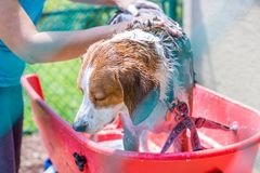 Perro de la mezcla del beagle que tiene un baño del champú al aire libre - granangular foto de archivo