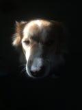 Perro de la mezcla del border collie en las sombras Foto de archivo