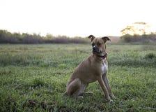 Perro de la mezcla del boxeador Fotos de archivo