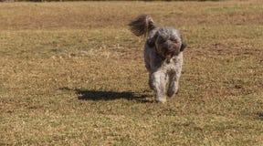 Perro de la mezcla del caniche Fotografía de archivo libre de regalías