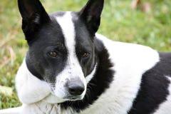 Perro de la mezcla del collie de frontera Fotografía de archivo libre de regalías