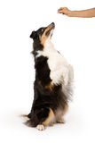 Perro de la mezcla del pastor que pide un convite Imagenes de archivo