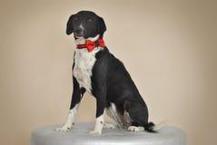 perro de la Mezclado-raza con el arco rojo Fotos de archivo libres de regalías