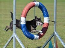 Perro de la Mezclado-raza en el ensayo de la agilidad imagen de archivo