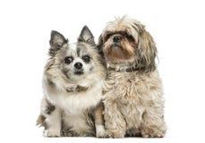 Perro de la Mezclado-raza que se sienta delante del fondo blanco fotos de archivo libres de regalías