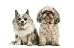 Perro de la Mezclado-raza que se sienta delante del fondo blanco imagenes de archivo