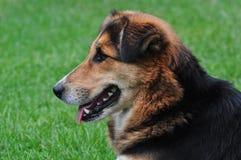 Perro de la montaña Fotografía de archivo libre de regalías