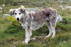 Perro de la montaña Foto de archivo libre de regalías