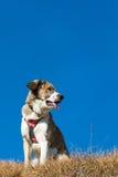 Perro de la montaña Foto de archivo