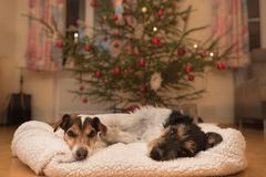 Perro de la Navidad dos - Jack Russell Terrier imagen de archivo libre de regalías