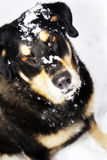 Perro de la nieve Fotografía de archivo libre de regalías