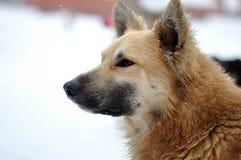 Perro de la nieve Imágenes de archivo libres de regalías