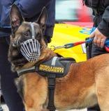 Perro de la patrulla Imágenes de archivo libres de regalías