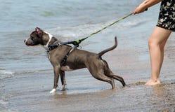 Perro de la playa listo para nadar Fotos de archivo