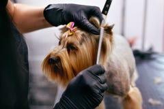 Perro de la preparación Acaricie el pelo de cepillado del ` s del perro del Groomer con el peine en el salón fotografía de archivo libre de regalías