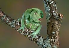 Perro de la rana Foto de archivo libre de regalías