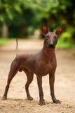 Perro de la raza de Xoloitzcuintli, perro sin pelo mexicano que se coloca al aire libre el día de verano Fotografía de archivo libre de regalías