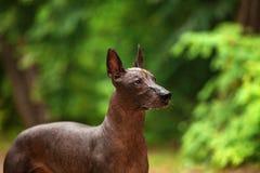 Perro de la raza de Xoloitzcuintli, perro sin pelo mexicano que se coloca al aire libre el día de verano Imágenes de archivo libres de regalías