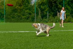 Perro de la raza del border collie para un paseo en un día soleado del verano imágenes de archivo libres de regalías