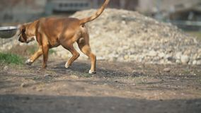 Perro de la raza del boxeador metrajes