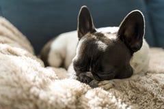 Perro de la raza del dogo francés que pone encima de una manta de pelo largo beige imagen de archivo libre de regalías