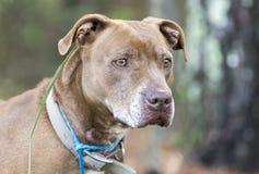 Perro de la raza de la mezcla mayor del chocolate Labrador y del mastín foto de archivo