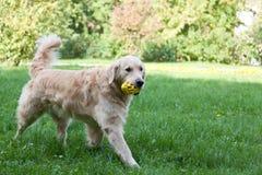 Perro de la raza un golden retriever Imagen de archivo libre de regalías