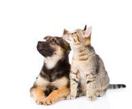 Perro de la raza y gato de gato atigrado mezclados Aislado en el fondo blanco imagen de archivo