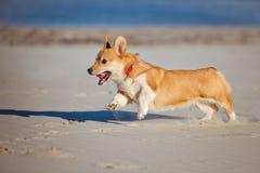Perro de la rebeca del corgi Galés que corre en una playa Imagen de archivo