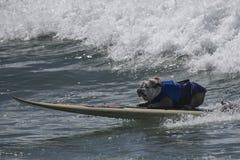 Perro de la resaca - dogo Imagenes de archivo
