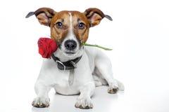 Perro de la tarjeta del día de San Valentín Imagenes de archivo