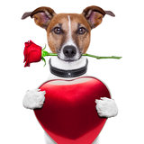 Perro de la tarjeta del día de San Valentín Fotografía de archivo libre de regalías