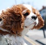 Perro de la ventana Fotos de archivo libres de regalías