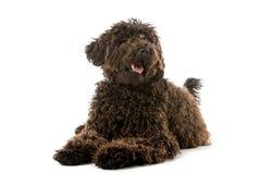 Perro de Labradoodle Imagen de archivo libre de regalías