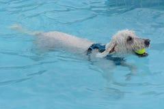 Perro de Labradoodle con la pelota de tenis en la natación de la boca imagen de archivo libre de regalías