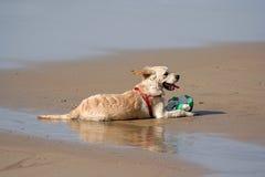 Perro de Labrador Imagen de archivo libre de regalías