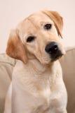 Perro de Labrador Imágenes de archivo libres de regalías