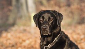 Perro de Labrador Fotos de archivo libres de regalías