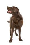 Perro de Labrador del chocolate fotografía de archivo libre de regalías
