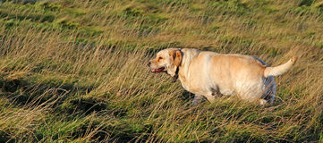 Perro de Labrador del golden retriever imágenes de archivo libres de regalías