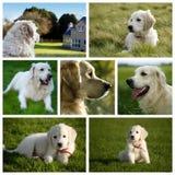 Perro de Labrador del golden retriever Fotos de archivo libres de regalías