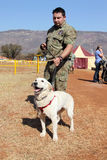 Perro de Labrador del succionador, droga, narcótico y explosivos entrenados, wi Fotos de archivo