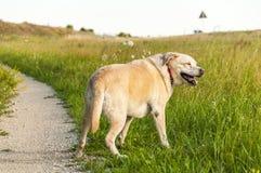 Perro de Labrador en campo Imagenes de archivo