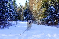Perro de Labrador que corre en la nieve imagenes de archivo